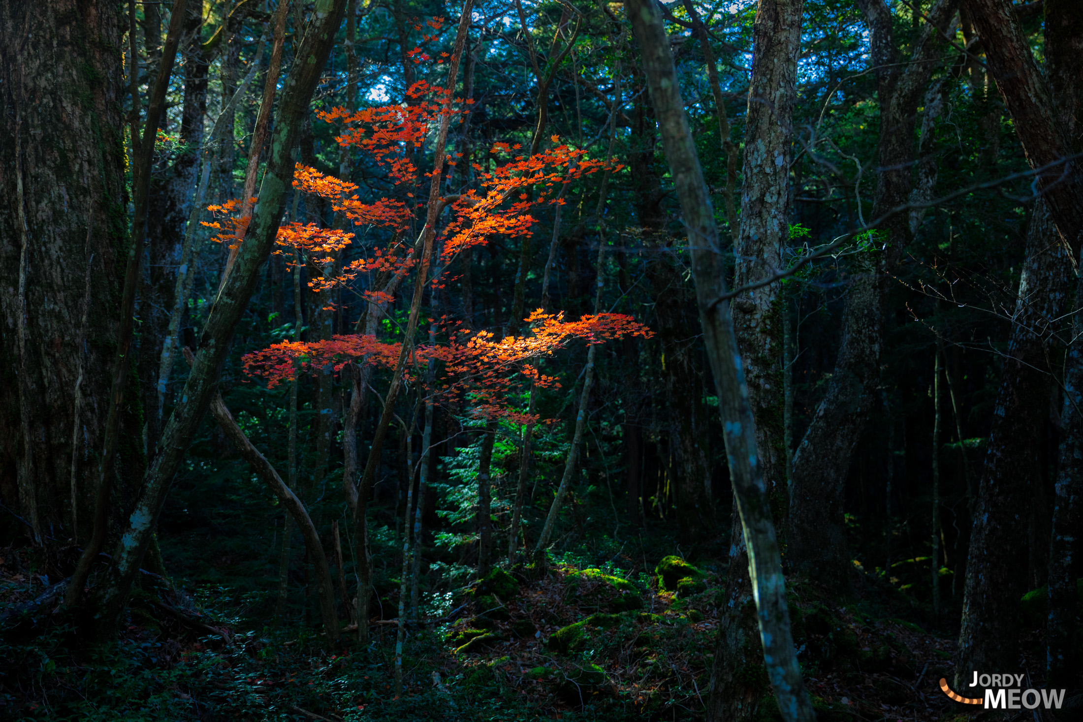autumn, chubu, forest, japan, japanese, jukai, natural, nature, yamanashi