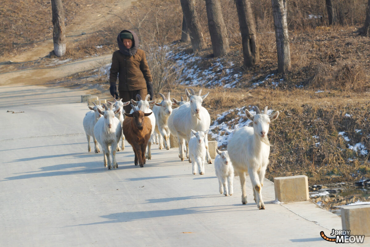 Goats in North Korea