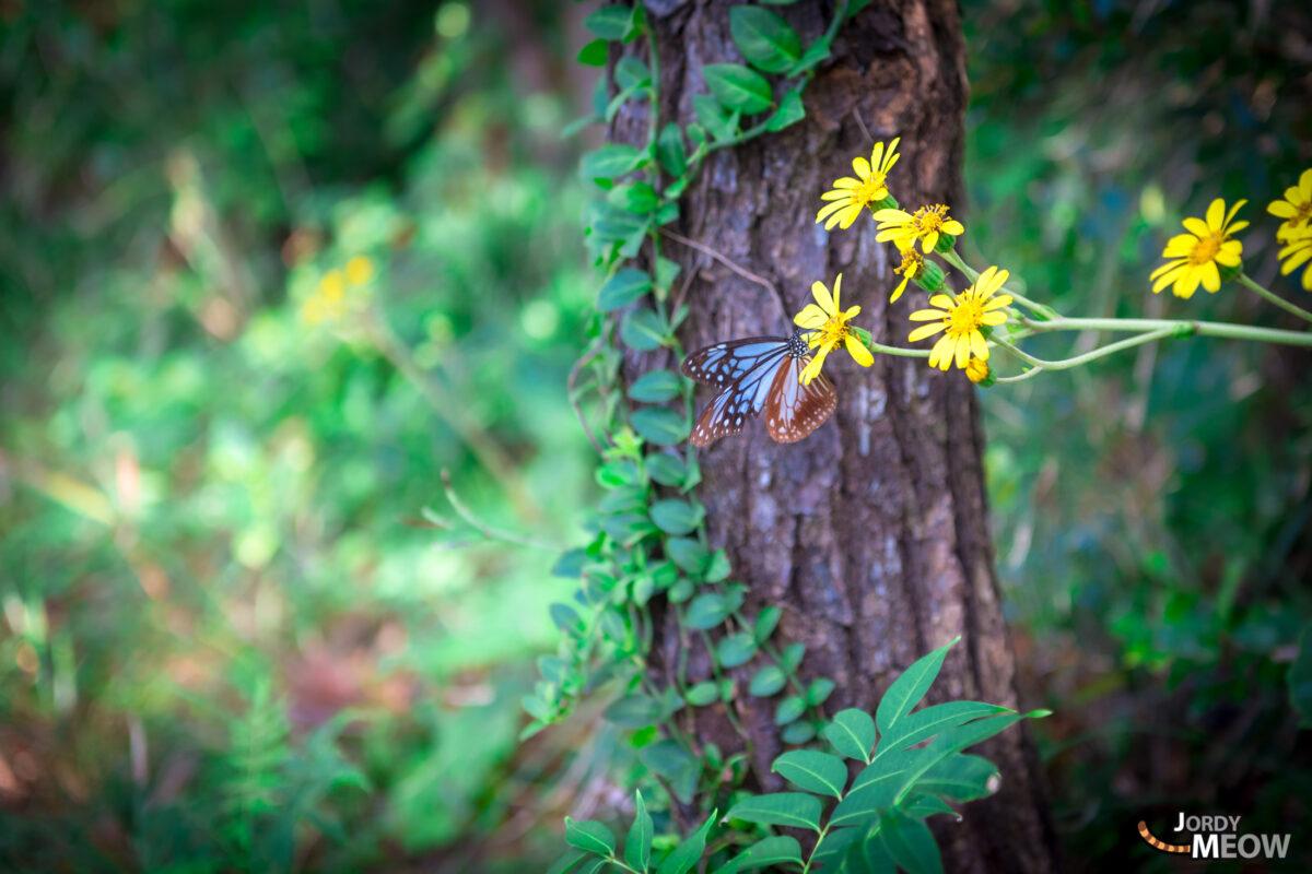 Butterfly Takatsukiyama