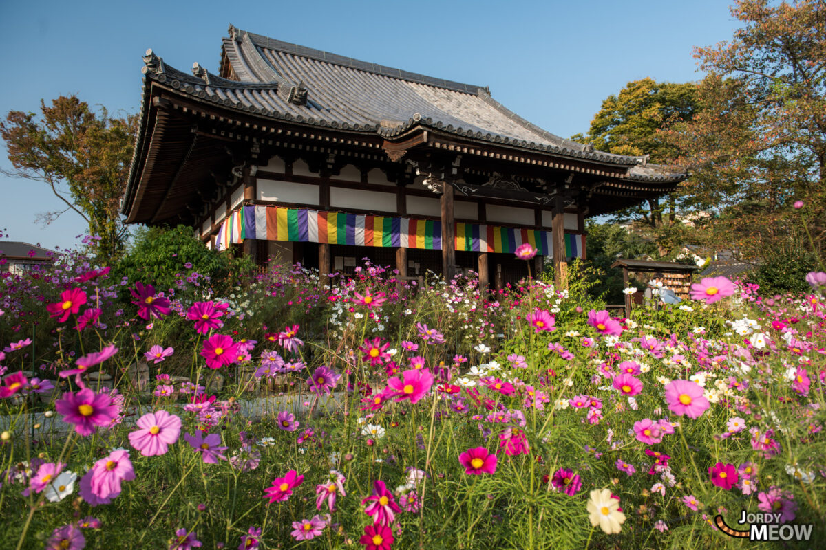 cosmos, flower, japan, japanese, kansai, nara, natural, nature, temple