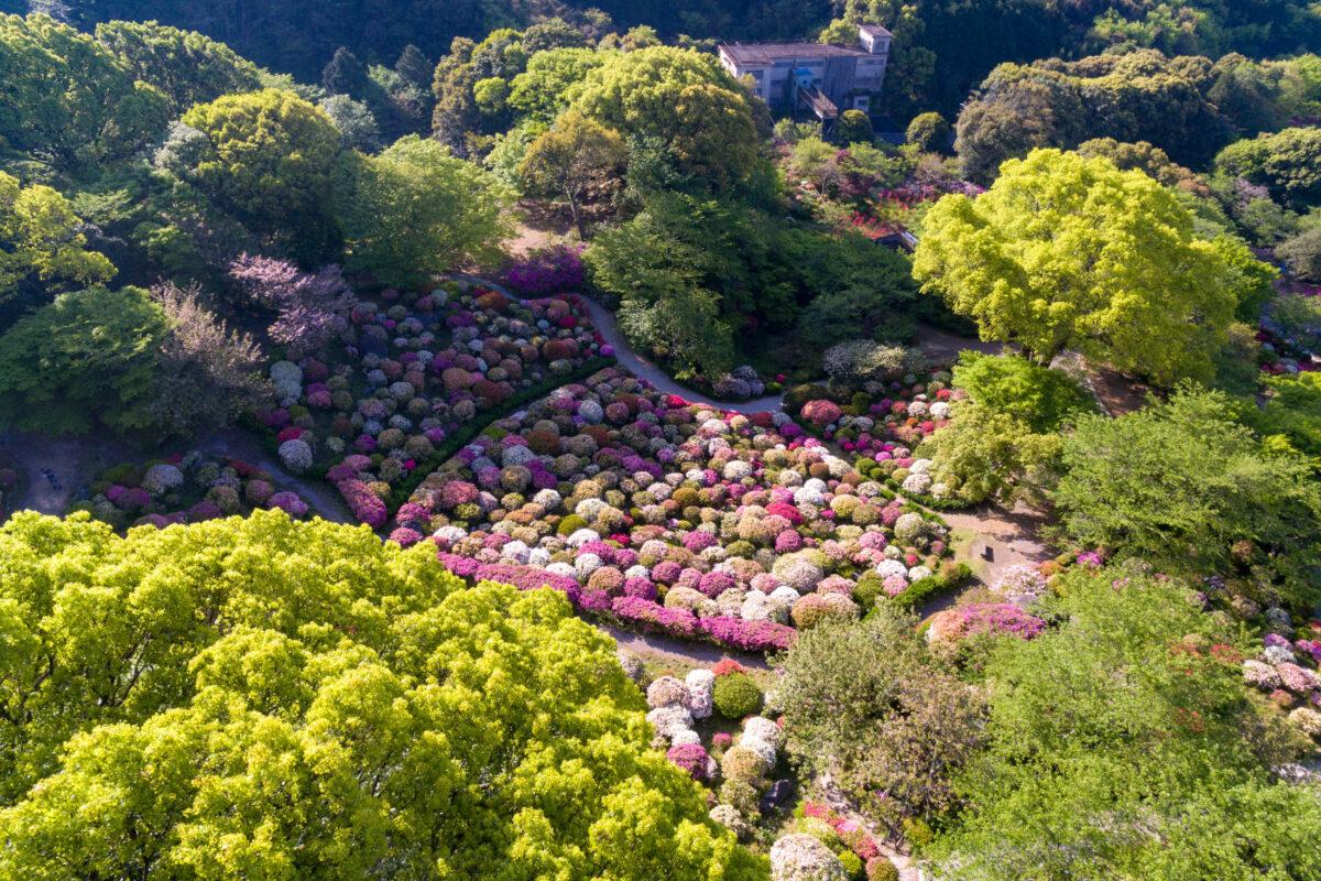 azalea, drone, flower, japan, japanese, kyushu, natural, nature, saga, spring