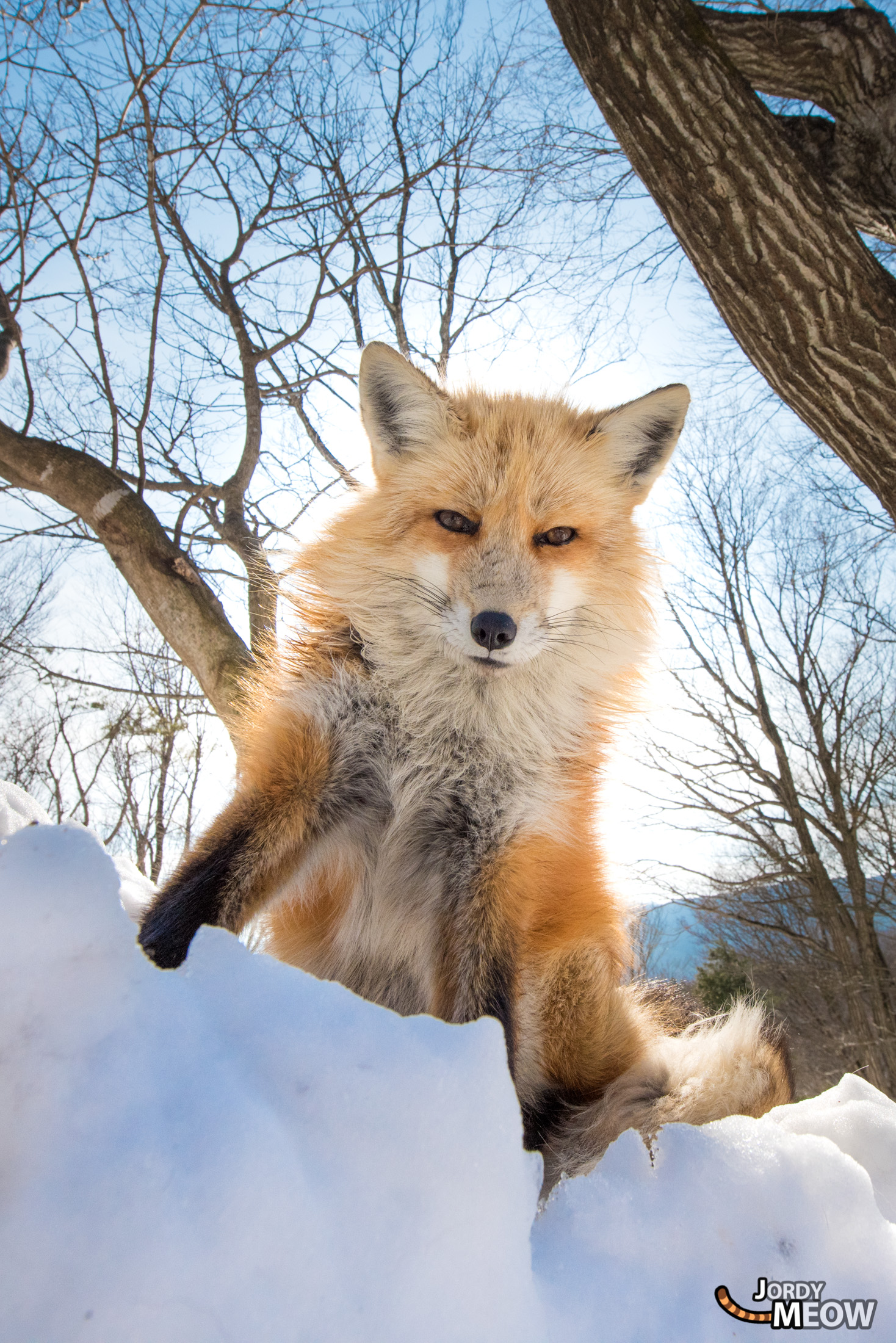 animal, fox, japan, japanese, miyagi, natural, nature, snow, tohoku, winter