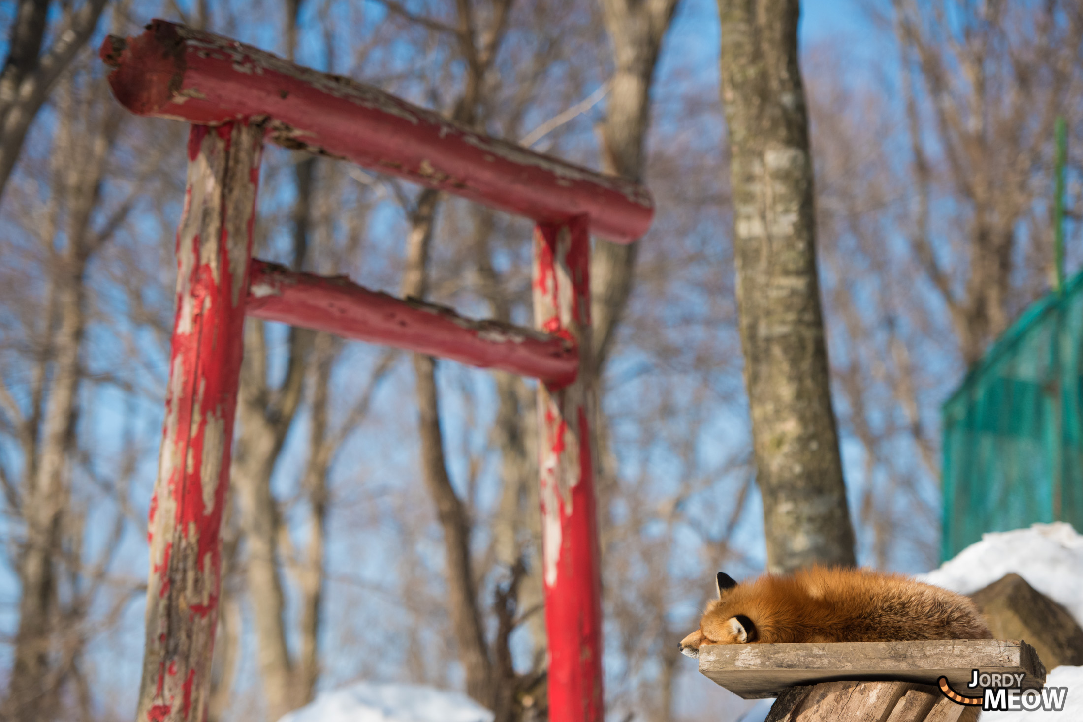 animal, fox, japan, japanese, miyagi, natural, nature, religion, religious, shinto, snow, spiritual, tohoku, tori, winter