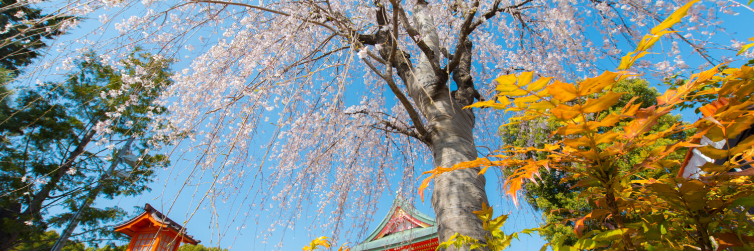 flower, japan, japanese, kanto, natural, nature, religion, religious, sakura, spiritual, spring, temple, tokyo