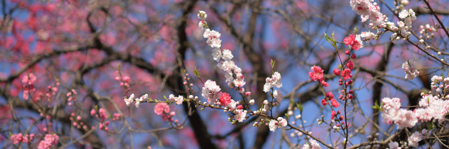 flower, garden, natural, nature, sakura, spring