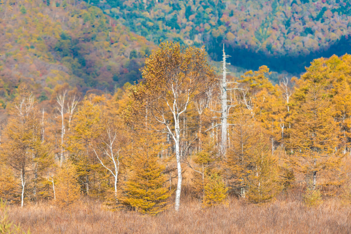 Senjogahara Yellow Trees