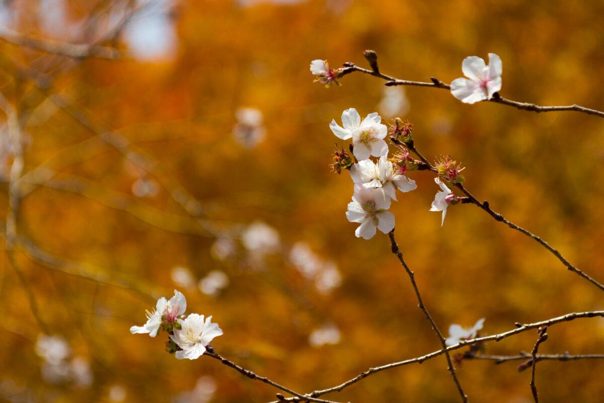 Camellia in Autumn