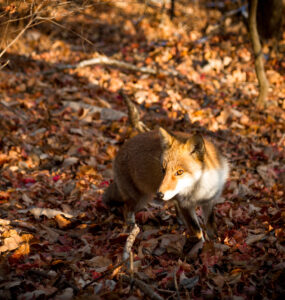 animal, fox, japan, japanese, kanto, natural, nature, saitama