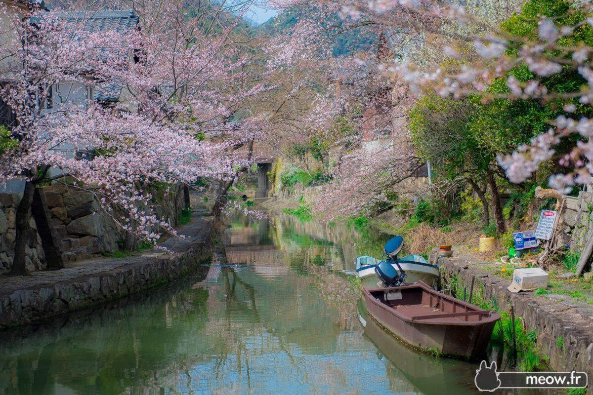 Omihachiman Sakura