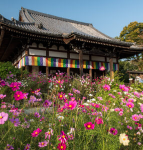 cosmos, flower, japan, japanese, kansai, nara, natural, nature, religion, religious, spiritual, temple