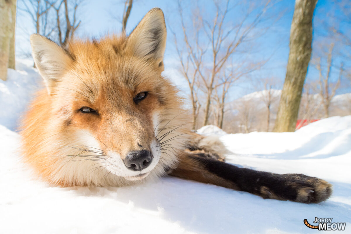 animal, asia, fox, japan, japanese, miyagi, natural, nature, snow, tohoku, winter