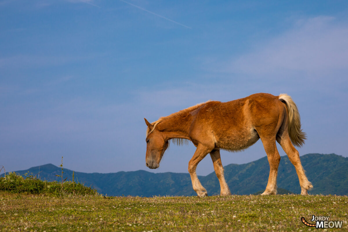 animal, chugoku, horse, island, japan, japanese, natural, nature, shimane